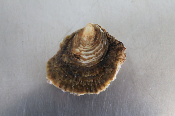 Medium Native oyster from Mersea Island in Essex, sold online by Richard Haward's Oysters. Also known as Colchester Native Oyster.