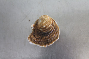 Small Native oyster from Mersea Island in Essex, sold online by Richard Haward's Oysters. Also known as Colchester Native Oyster.