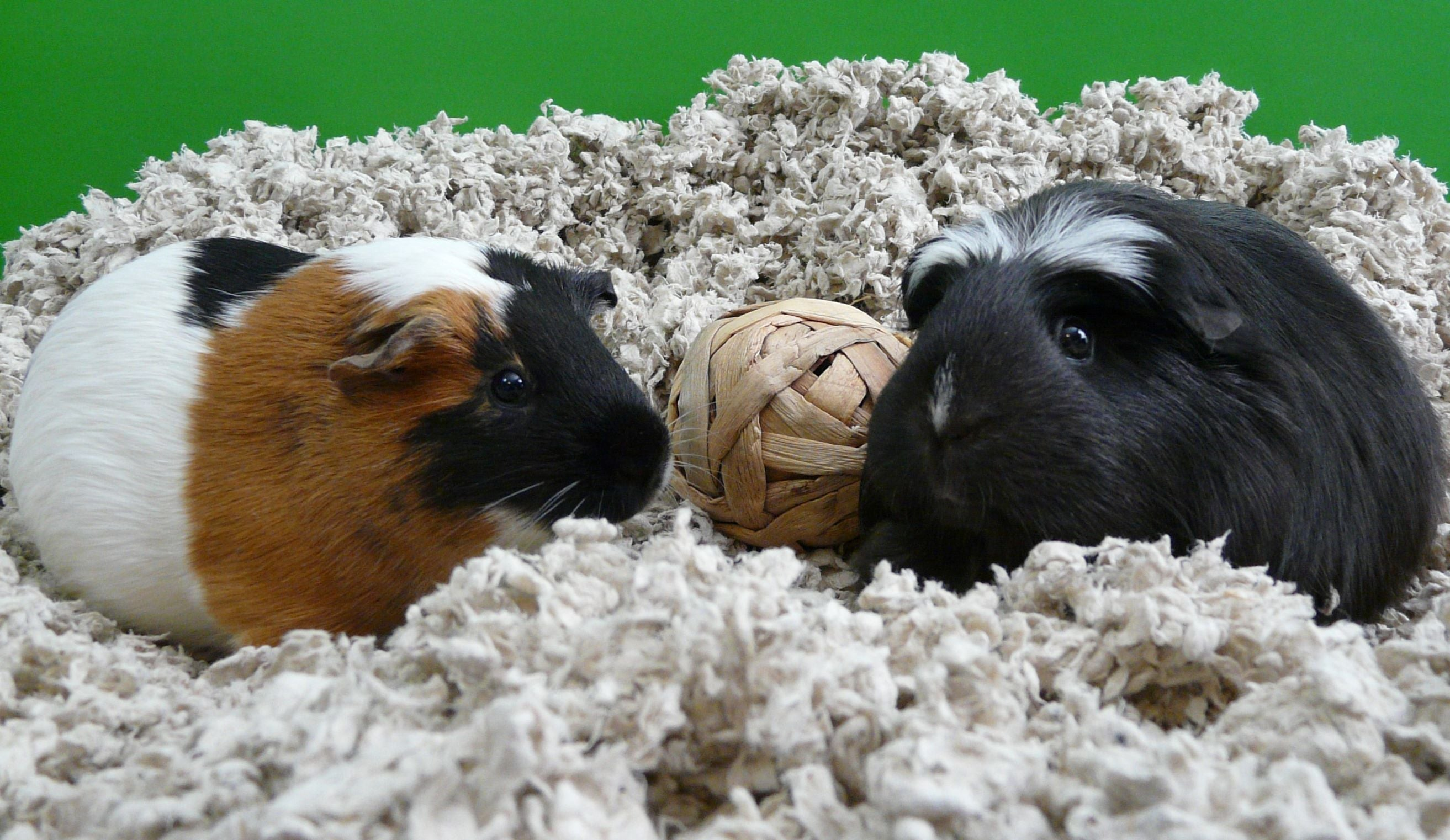 guinea pigs in carefresh small pet bedding