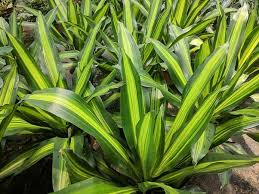 Dracaena Massangeana Happy Plant