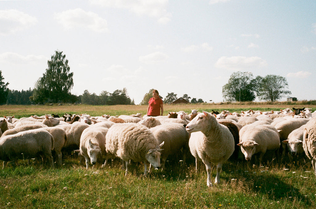 Karin Ericsson, wearing a red polo shirt, stands in a field surrounded by her sheep who are grazing
