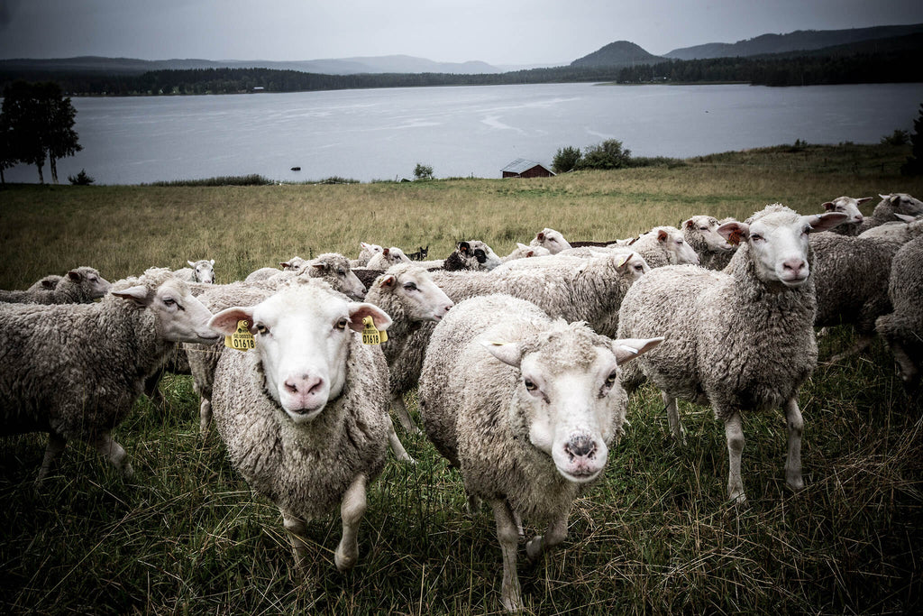 Curious sheep at Norrbro Fårgård with their view