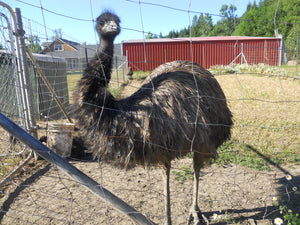 Love and Harmony on an Emu Ranch