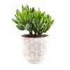 Crassula 'Hobbit' - Curb Appeal Plants