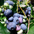 Blueberry Plant - 4 Pack - Curb Appeal Plants