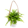 Boston Fern - Hanging Planter - Curb Appeal Plants