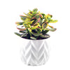 Crassula 'Sunset' Jade Plant - Curb Appeal Plants