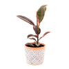 Ficus elastica 'Belize' - Curb Appeal Plants