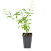 Goji Berry 'Firecracker' Superfruit - 4 pack - Curb Appeal Plants