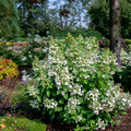 Flare™ Hydrangea - Curb Appeal Plants