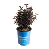 Panther® Ninebark - Curb Appeal Plants