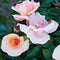 Chinook Sunrise® Rose - Curb Appeal Plants