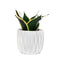 Sansevieria hahnii 'Black Star' - Curb Appeal Plants