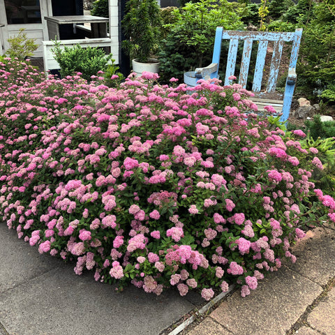 Poprocks® Petite Spirea - Curb Appeal Plants