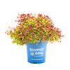 Rainbow Fizz™ Spirea - Curb Appeal Plants