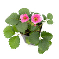 Strawberry Toscana - 4 Pack - Curb Appeal Plants