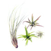Air Plants - Tillandsia Assortment - Curb Appeal Plants