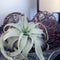 Air Plant - Tillandsia Xerographica - Curb Appeal Plants