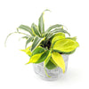 Tropical Planter 'Lemon Twist' - Curb Appeal Plants