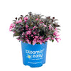 Stunner® Weigela - Curb Appeal Plants