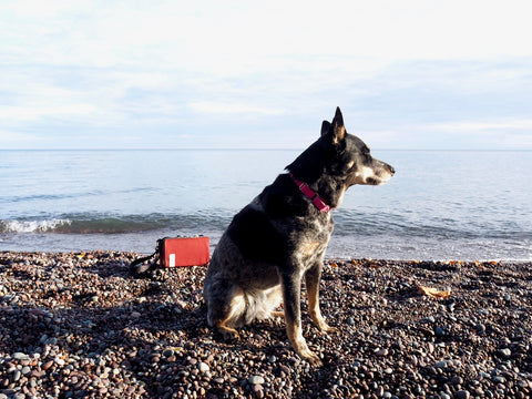 Inge, äventyr dog, with The Essential Handlebar Bag at Little Girls Point Beach, Ironwood, Michigan