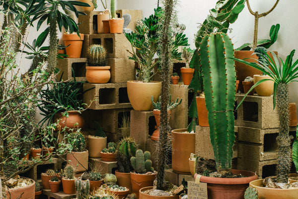 Echo Park's Hot Cactus