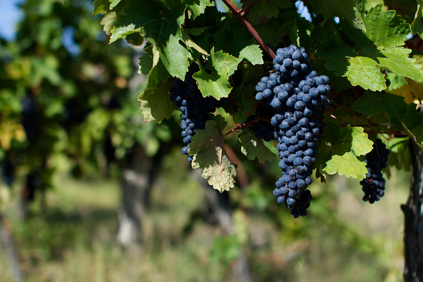 Vine på Brunello