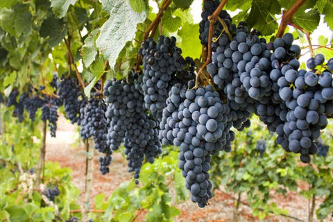 Tannat dreur grapes