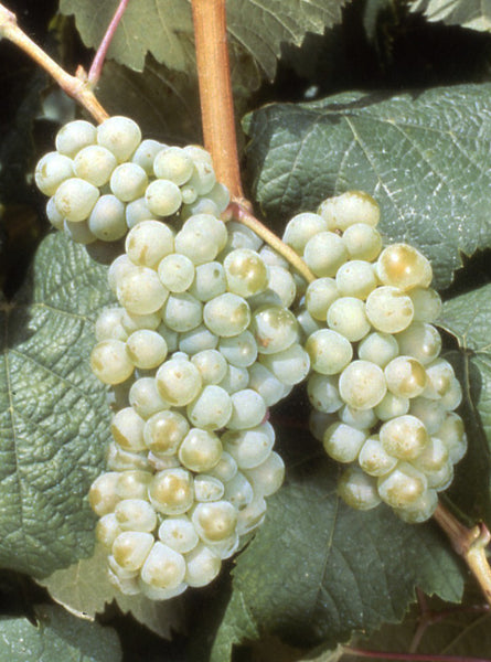Petit corbu druer grapes