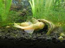 Load image into Gallery viewer, Albino Bristlenose Pleco
