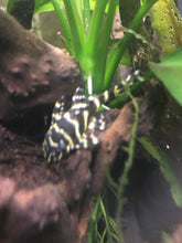 Load image into Gallery viewer, L340 Mega Clown Pleco