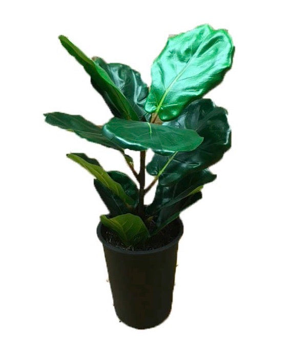 Small Fiddle Leaf