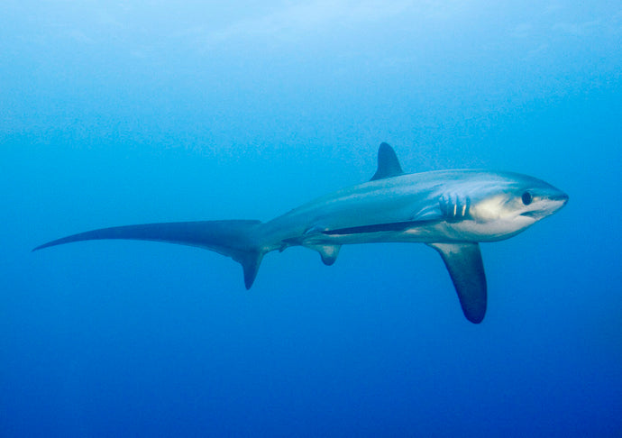Deep Adventure Dive Course with Thresher Sharks
