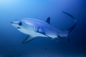 Book dives with thresher sharks on Malapascua Island, Philippines