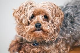 Yorkie Poo – Dog Breed Guide