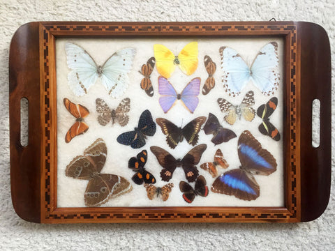 Wooden Tray with real Butterflies