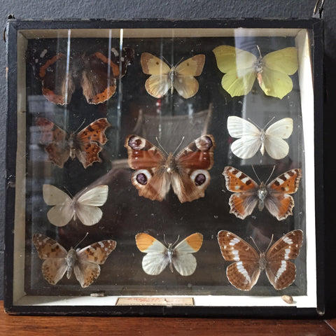 Butterfly display box.