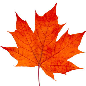 Maple Leaf Ingredient in Dry Skin Face Mask