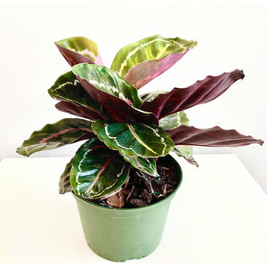 "6"" Small Calathea Medallion"