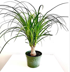 "6"" Small Ponytail Palm Tree"