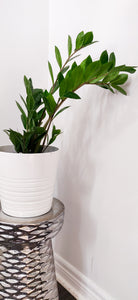 ZZ Plant - Available in 2 sizes
