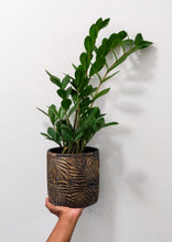 Load image into Gallery viewer, ZZ Plant - Available in 2 sizes