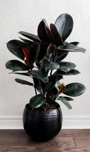 Load image into Gallery viewer, Burgundy Rubber Plant