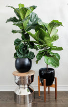 Load image into Gallery viewer, Fiddle Leaf Fig - Available in 3 sizes