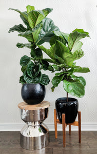 Fiddle Leaf Fig - Available in 3 sizes