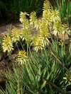 Sunbird Aloe 'Bush Baby Yellow'