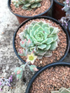 Graptoveria Margaret Reppin