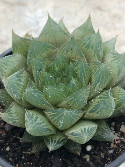 Haworthia cooperi var. pilifera (normal)
