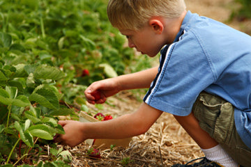 Strawberry Picking is a fantastic way to pass the time today!