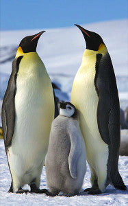 Emperor penguins are currently the biggest penguins around.